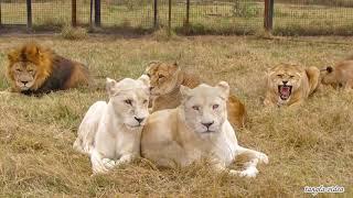 Львы и львицы Тайгана. Фото-альбом.