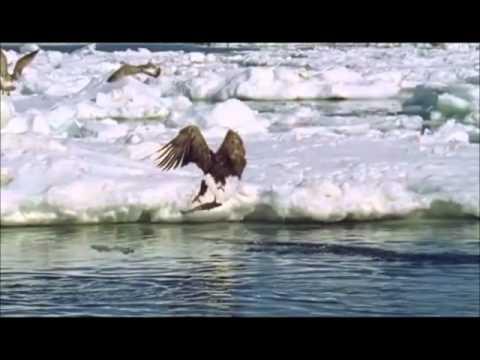 Riesenseeadler (Steller's sea-eagle) fishing