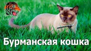 Бурманская кошка.История,характер,описание породы.