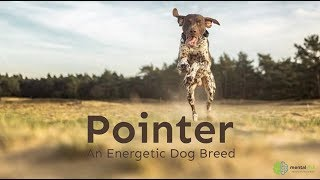 Pointer – An Energetic Dog Breed