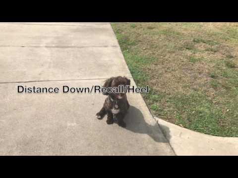 "1 Year Old Havanese ""Rollo""/ Havanese Dog Trainers/Best Dog trainers Orlando"