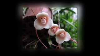 видео Причудливая орхидея