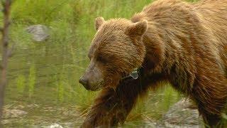 Bears spark excitement but present danger in national park