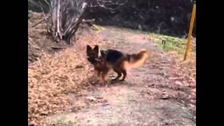 シェパードのライカさん、朝の一走り 坂道を枝を追いかけて走り回り、咥...
