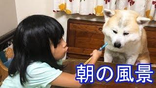 grandchild and #GermanShepherd #dog#Akita Inu #JAPANESEAKITA #大型...