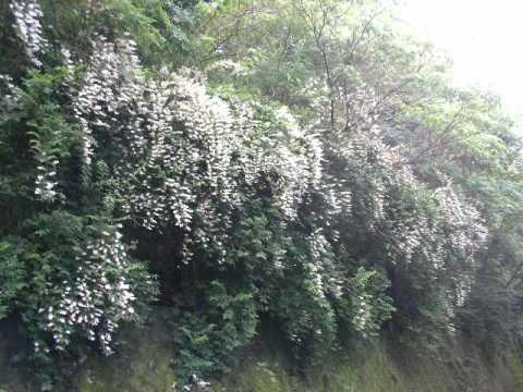 ブラックベリーの花と 山間のウツギの花