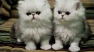 Персидские котята, серебристые шиншиллы