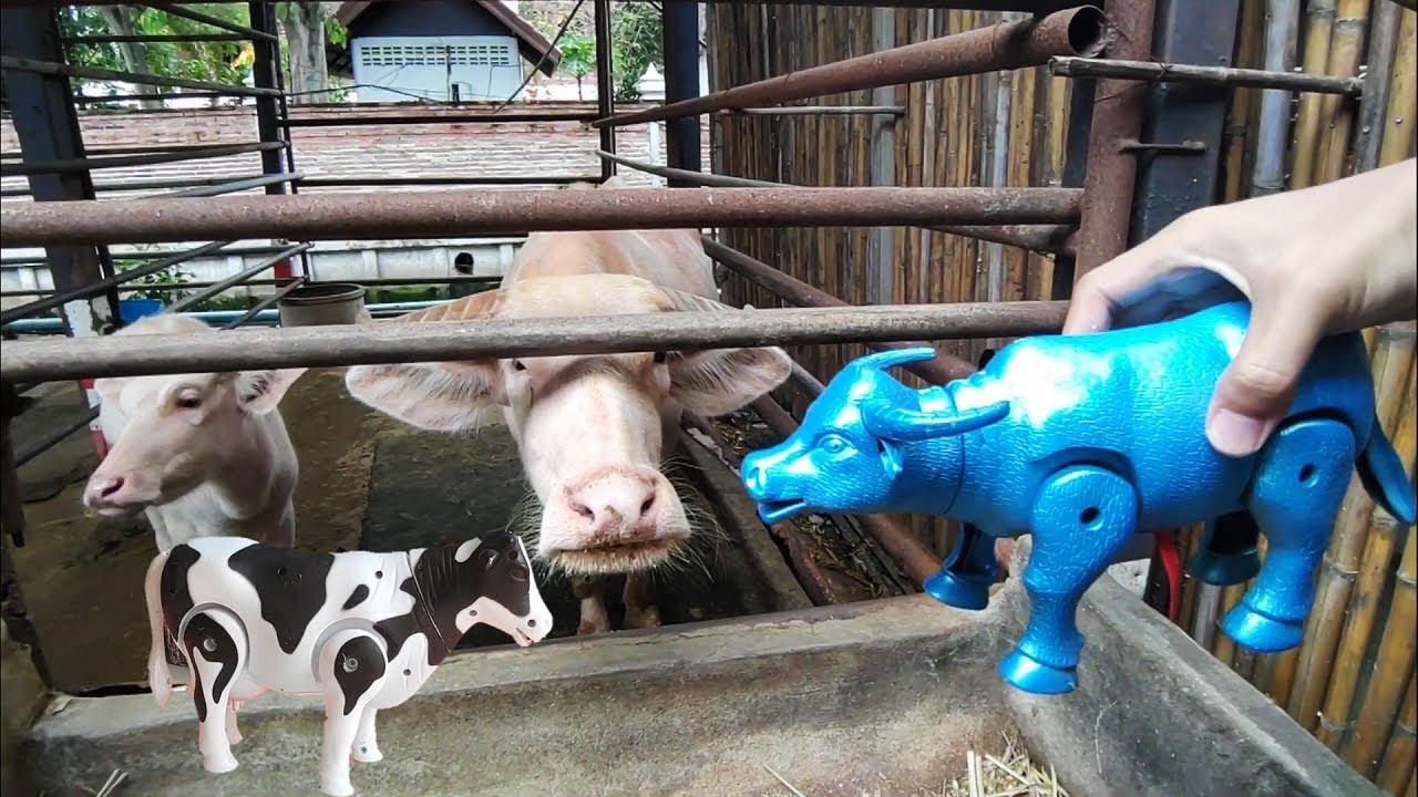 ให้อาหารควายเผือก เอาควายของเล่นมาเจอกับควายตัวจริง buffalo