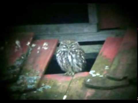 Sýček obecný (Athene noctua) Plzeňsko 06.03.2014 - Steinkauz,Little Owl, Czech republic