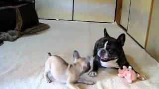 子犬(3か月)と老犬(7歳)の戯れ・・・仲良く遊べてるのかな?