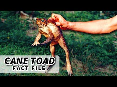 Cane Toad Facts: Australia's Epidemic | Animal Fact Files