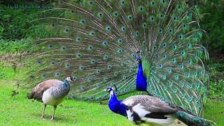 AMAZING WHITE PEACOCK DANCE •❥ BLUE WHITE PIED PEACOCK