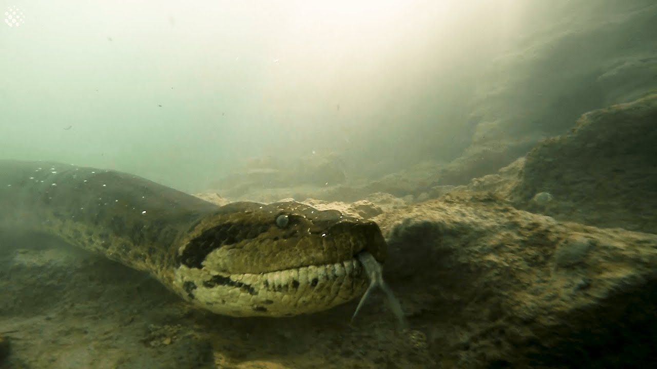 Resultado de imagen para buzos anaconda brasil