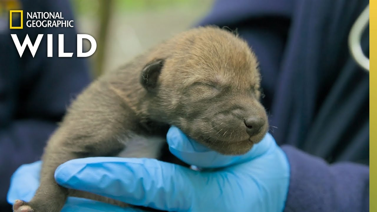 Download Newborn Red Wolf Puppies | Secrets of the Zoo