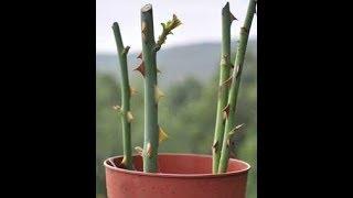 Как вырастить розу из веточки из букета из черенка дома