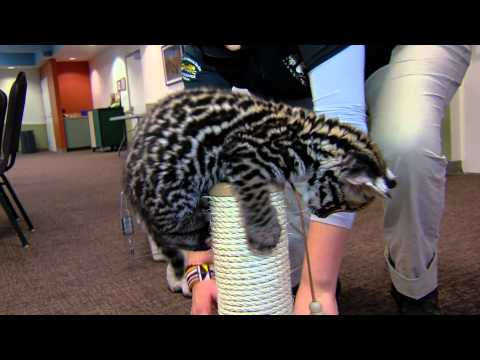 9 Week Old Ocelot Kitten Playing - Cincinnati Zoo