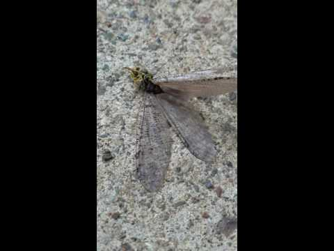 Dobson fly head gets bit off by another insect