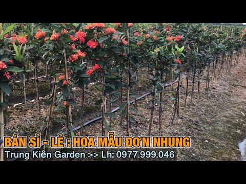 Đánh cây mẫu đơn nhung về vườn bán sỉ, lẻ -Trung kiên garden, zalo: 035.42.55055 & 0977.999.046.
