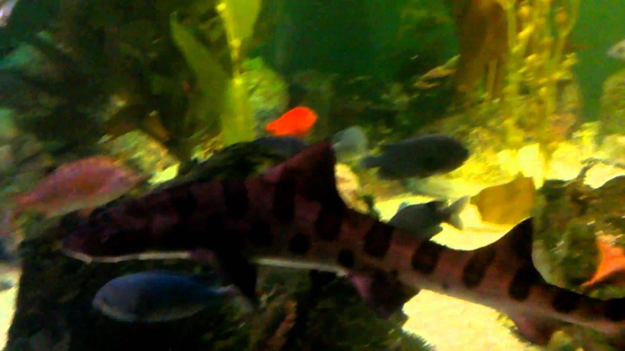 Fish for amazon aquarium - Freshwater Amazon River Tank Aquarium