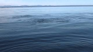 Orcas chase salmon caught by fishermen