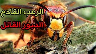 ظهور الدبور العملاق القاتل ...!! Murder hornet