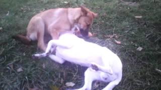 Любовь собак вечна