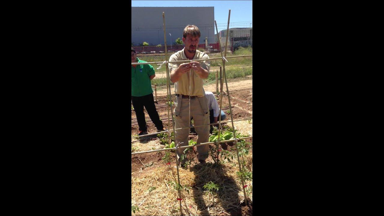 Poner tutores a los tomates y otras plantas del huerto - Tutores para tomates ...
