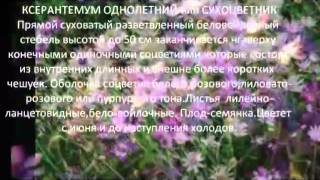 Однолетники для сада  Ксерантемум однолетний или сухоцветник