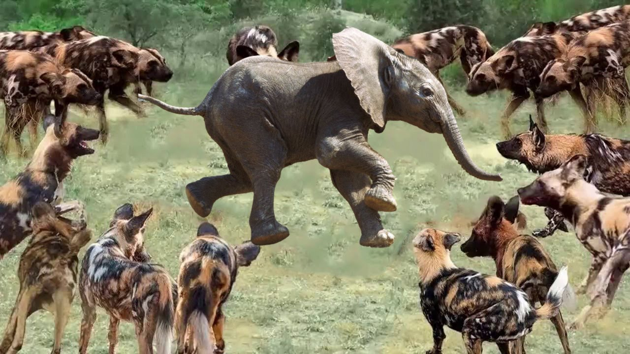 The Wild Dogs Surround The elephant. Elephant Escaped Or Not?