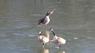 Крещение утки в крещенские морозы