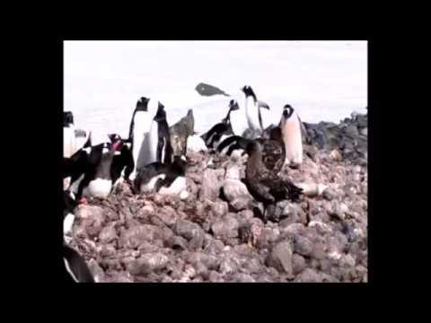 The penguins of Antarctica with Hurtigruten