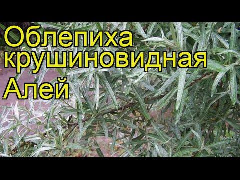 Облепиха крушиновидная Алей. Краткий обзор, описание характеристик нippophae rhamnoides Alei