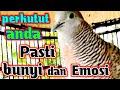 Pancingan Suara Perkutut Mendayu Ampuh  Mp3 - Mp4 Download