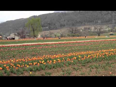 Tulip Garden Srinagar In Jammu & Kashmir