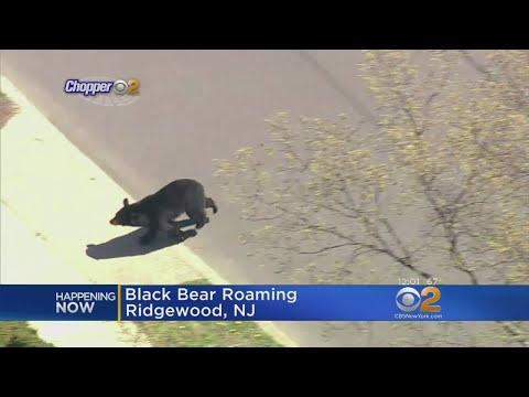 Black Bear Spotted In Ridgewood, N.J.