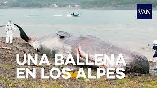 ¿Cómo acabó esta ballena varada en un lago en los Alpes franceses?