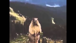 Screaming Beaver/Marmot LOL!