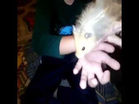 У нас поселился Сирийский хомяк. Angora Syrian hamst. Ангорский (сирийский длинношерстный) хомяк