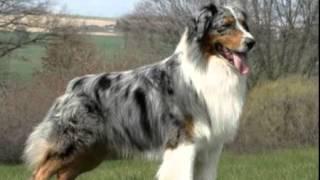 Австралийская овчарка (аусси) (Australian shepherd)(Это видео создано в редакторе слайд-шоу YouTube: http://www.youtube.com/upload., 2016-01-27T14:20:22.000Z)
