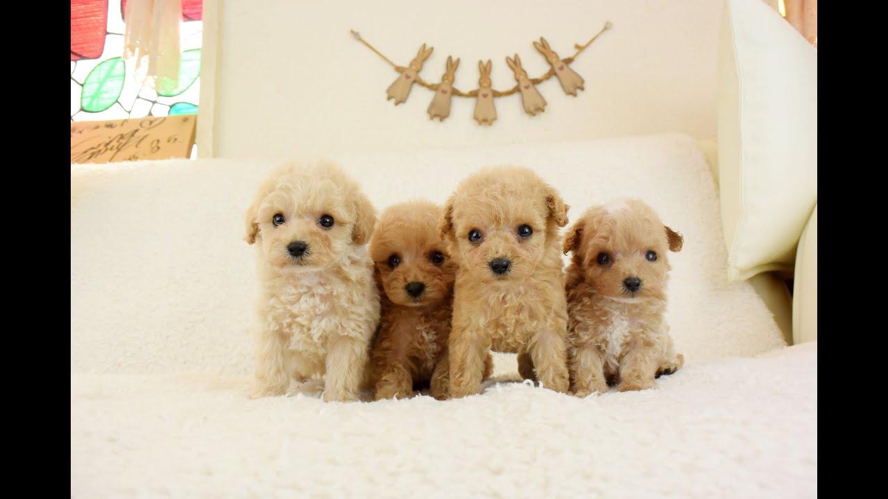 小さく可愛いトイプードルの子犬たち