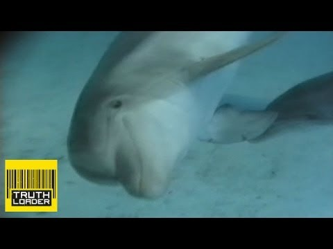 Dolphins 'chew Puffer Fish To Get High' - Truthloader