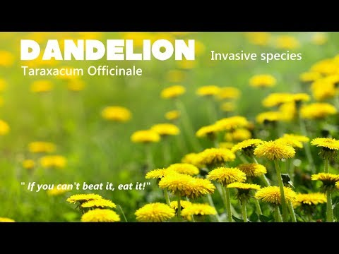 ⟹ DANDELION, Taraxacum officinale another invasive species but edible! #weeds