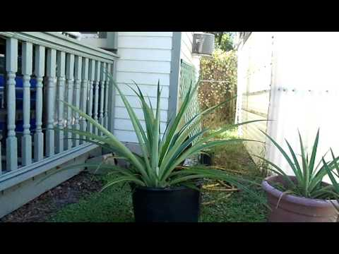 Growing Pineapple Plants in Florida
