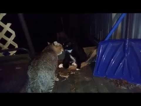 Download TWO TOM CATS FIGHT