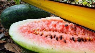 Watermelon - Primitive Technology Fans Video