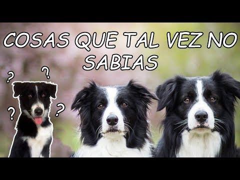 COSAS Que Posiblemente NO SABIAS De Los BORDER COLLIE | Dog Tips