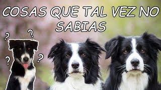 COSAS Que Posiblemente NO SABIAS De Los BORDER COLLIE   Dog Tips