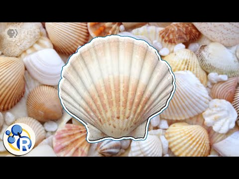 How Seashells Are Made