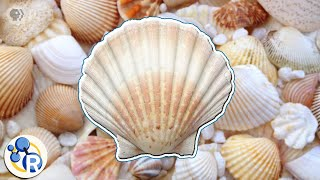 How Seashells Are Made