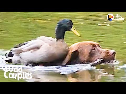 Duck Loves It When His Dog Brother Takes Him Swimming | The Dodo Odd Couples